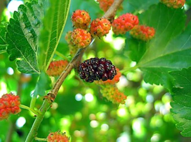 Diyabet: Şeker hastalığına karşı yapraklan kullanılır. Bunun için yapraklar kaynatılır ve kaynamış sudan günde 2-3 bardak içilir.