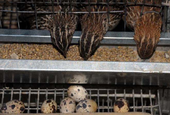 Yılda yaklaşık 300 yumurta veren bıldırcınlar, bazı turistik yerlerde de ateşin üzerinde pişirilerek yeniyor. Etinin lezzetli olmasından dolayı bazı restoranlar tarafından tercih edilen bıldırcından 150 gram et çıkıyor.