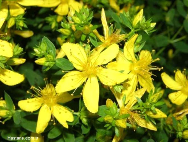 Çoban çökerten bitkisi, demir dikeni, deve çökerten ve çarık dikeni olarakta bilinir, Asya, Afrika ve Amerika'da yetişen bu bitki, tek yıllık yabani bir bitkidir. İşte bir çok rahatsızlığa iyi gelen bu bitkinin diğer faydaları...
