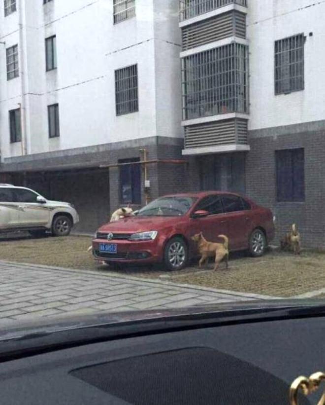 Çinde bir kişi arabasının yanına gelince inanılmaz bir manzarayla karşılaştı. Park halindeki otomobilini sahipsiz köpekler tarafından parçalanırken buldu.