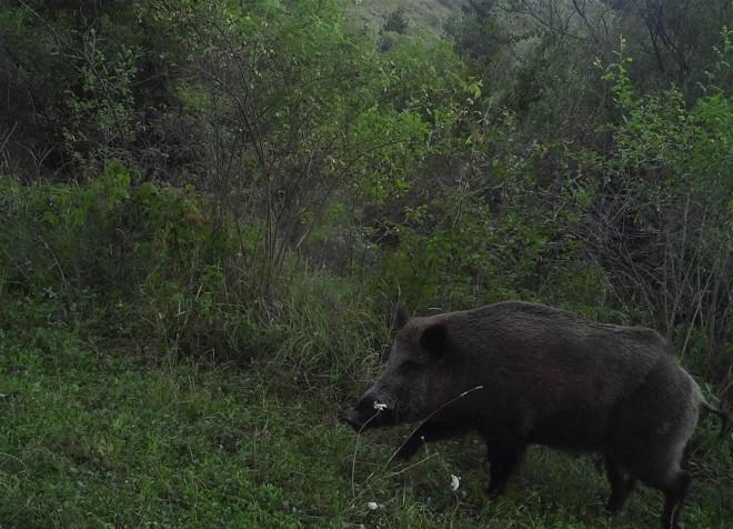 Kurt, vaşak, ayı, domuz, tavşan, tilki, atmaca, kartal ve baykuş gibi hayvanların doğal yaşamındaki görüntüleri fotokapanlarla kaydedildi.
