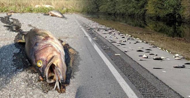 Florence kasırgası etkisiyle oluşan sel sularıyla geldikleri tahmin edilen onlarca ölü balık otoyola vurdu. Kasırga, bölgeyi vurduğundan beri 5.500 domuz ve 3.4 milyon kümes hayvanının telef olduğu açıklandı.